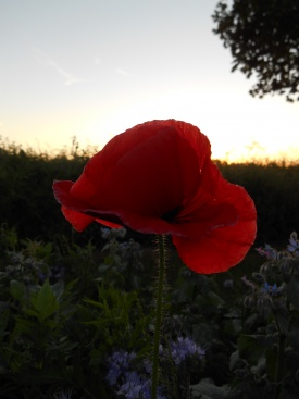 Poppy by the Severn